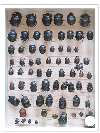 ファーブルが集めた糞虫の標本