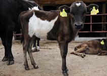 日本在来牛の口之島牛
