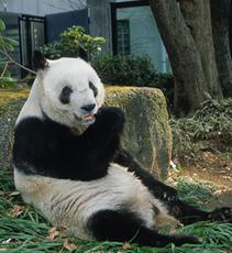 ジャイアントパンダの保全 -リンリンからのメッセージ-