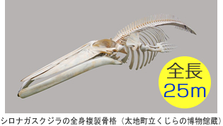 シロナガスクジラの全身複製骨格